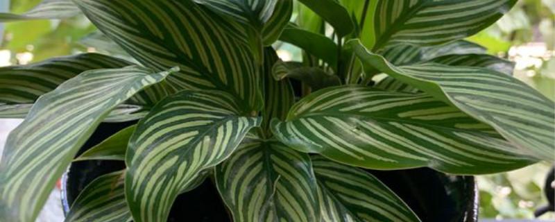双线竹芋养多长时间会开花