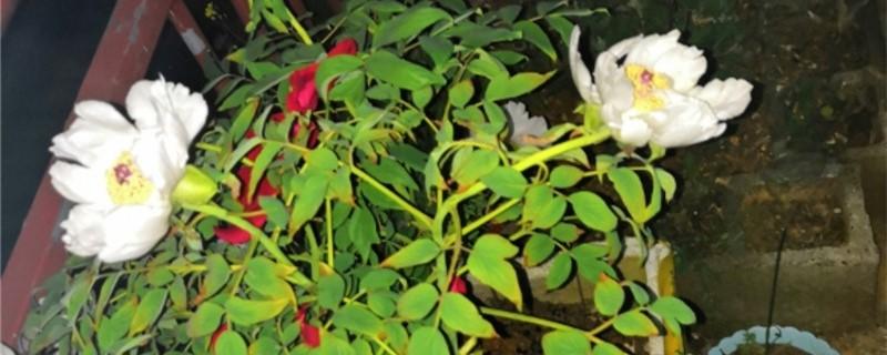 如何养盆栽白牡丹花