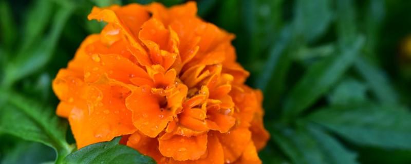 月季花养多长时间会开花