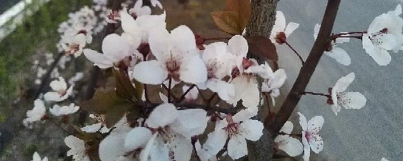 紫叶李养多长时间会开花