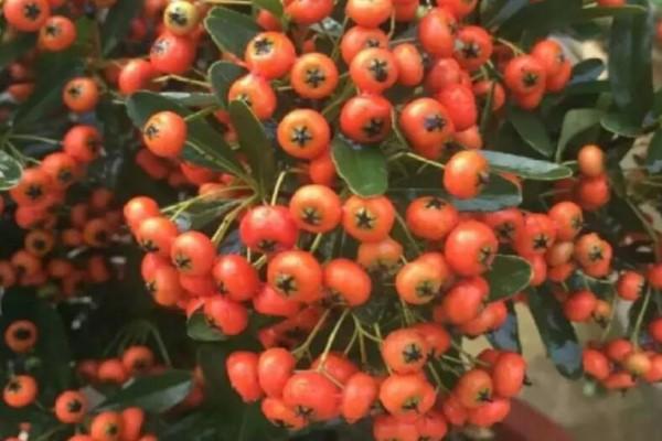 这花结满红果子,比花好看100倍,越养越上瘾!