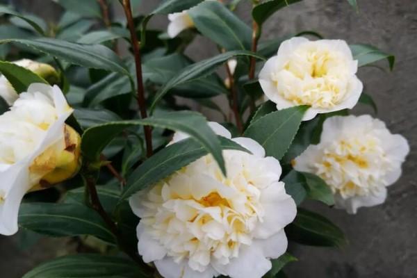 花市买到这种花,回家赶紧换盆,否则黄叶掉叶不开花!
