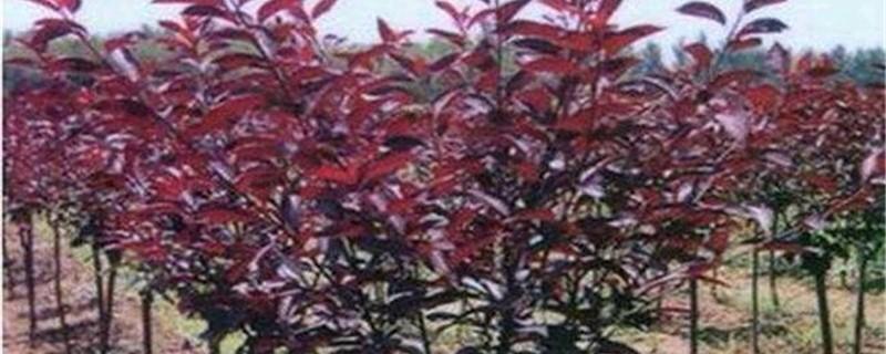 紫叶李有没有花和果实
