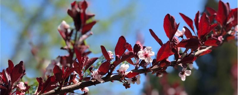 紫叶矮樱有没有花和果实