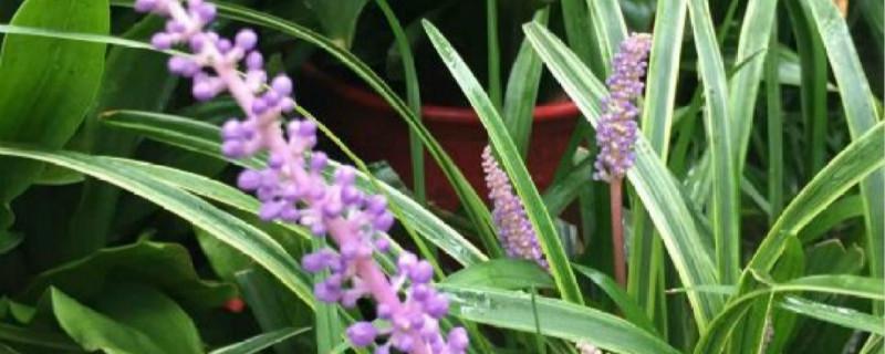 麦冬草养多长时间会开花
