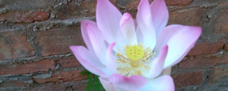 莲花养多长时间会开花