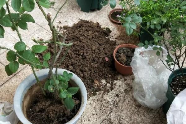 5种花换盆,一定要换新土,否则很快死翘翘!