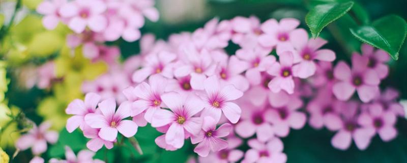 长春花有没有花和果实