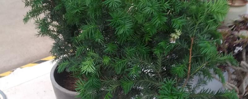 曼地亚红豆杉有没有花和果实