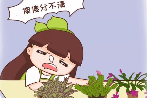 蟹爪兰也有假?买花时睁大眼,小心被骗!