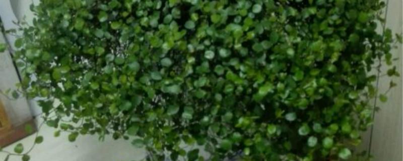 千叶吊兰有没有花和果实