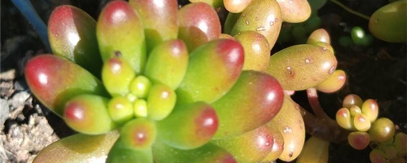虹之玉有没有花和果实