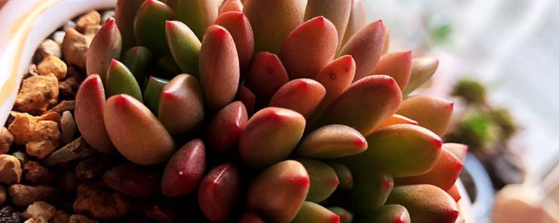 红宝石有没有花和果实