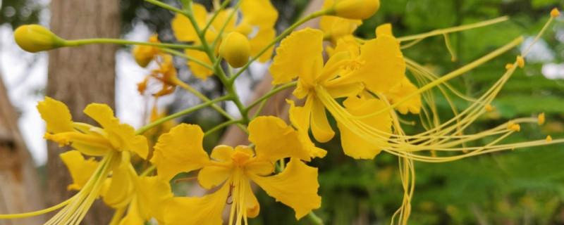 金缕梅养多长时间会开花