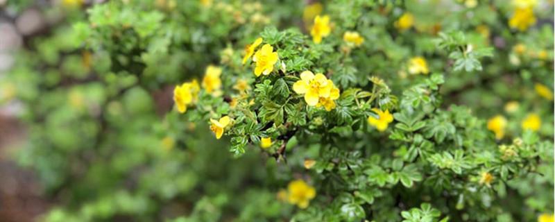 金露梅养多长时间会开花