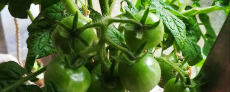 番茄有没有花和果实