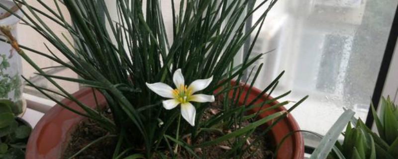 葱兰养多长时间会开花