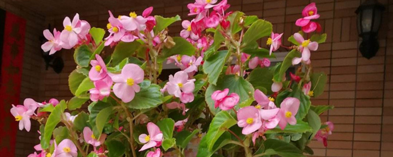 海棠开花吗