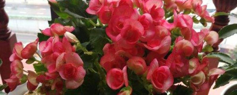 海棠花开花吗