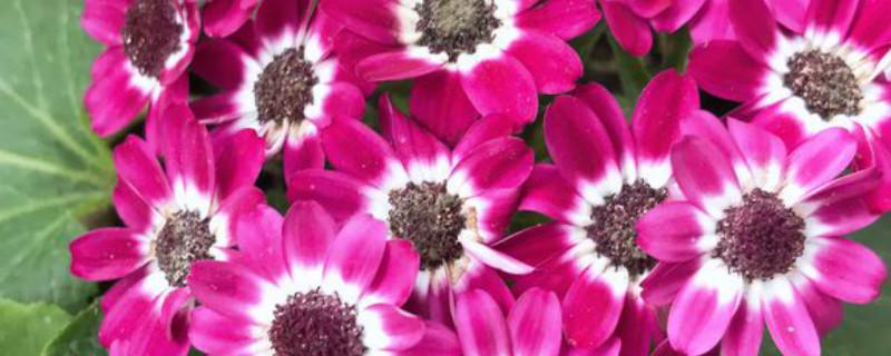 瓜叶菊开花吗