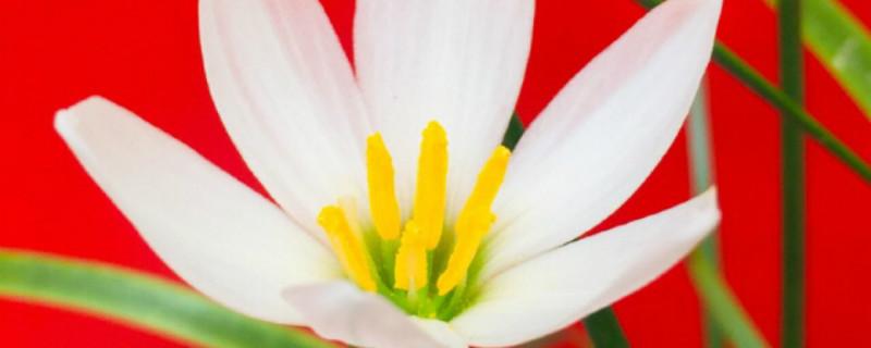 风雨兰开花吗