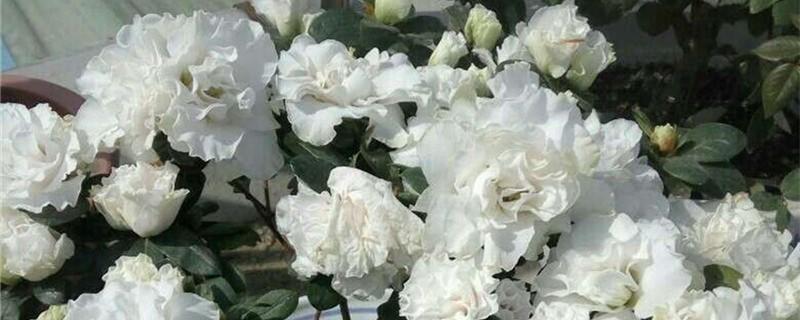 杜鹃开花吗