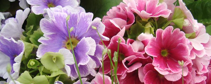 报春花开花吗