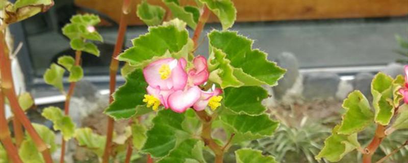 茶花秋海棠开花吗