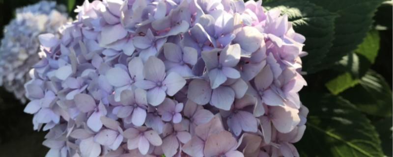 阳台如何养八仙花