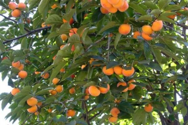 30元一斤的水果,长在路边没人摘,感觉自己赚大发了!