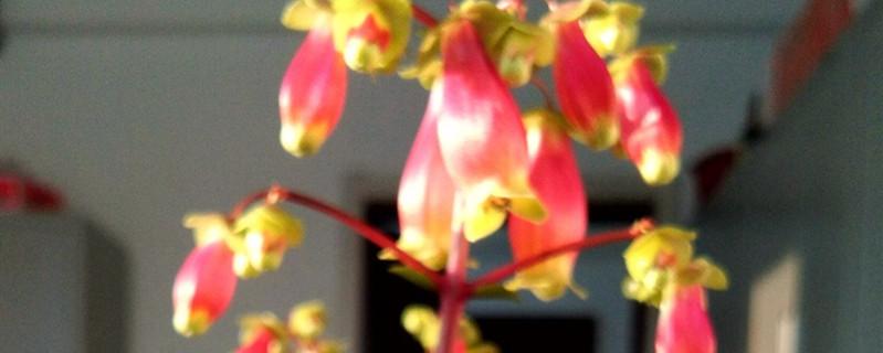 阳台如何养宫灯长寿花