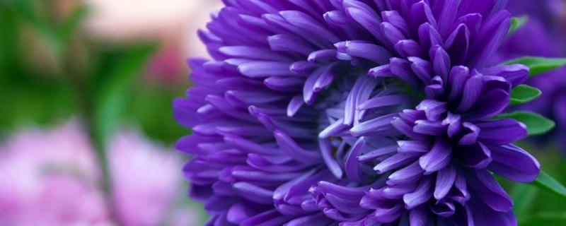 日本国花究竟是什么