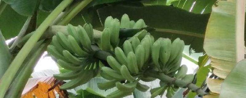 香蕉有没有种子