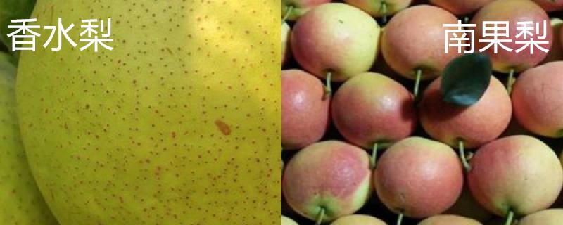 香水梨和南果梨区别