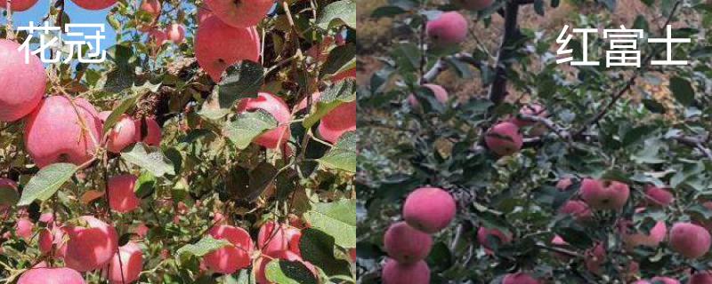 花冠苹果和红富士区别