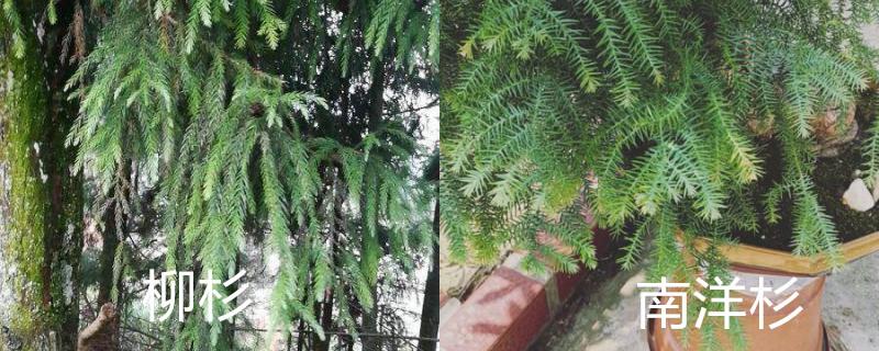 柳杉与南洋杉的区别