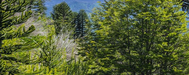 澳洲杉和南洋杉有什么区别