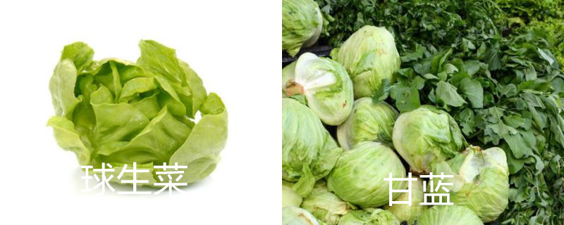 球生菜和洋白菜的区别