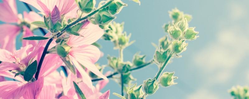 麻杆花和蜀葵的区别