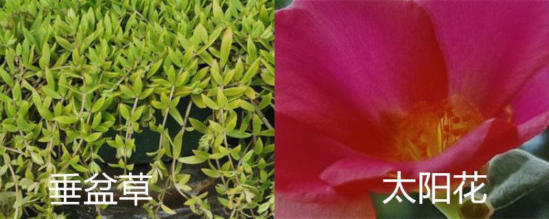 垂盆草和太阳花的区别