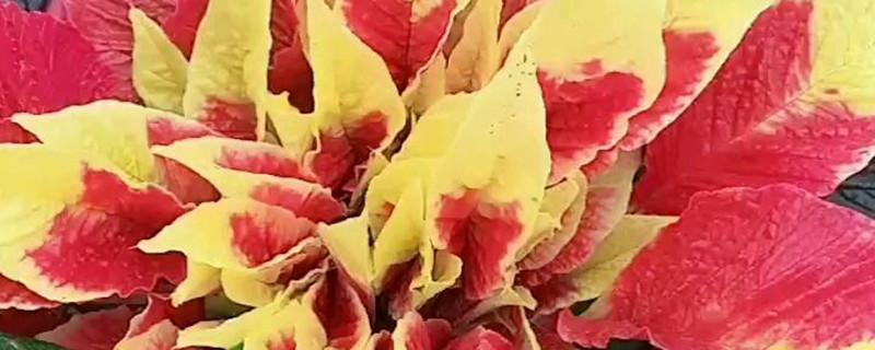 雁来红黄叶的原因和处理办法