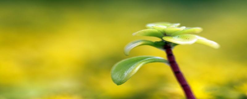燕子掌黄叶的原因和处理办法