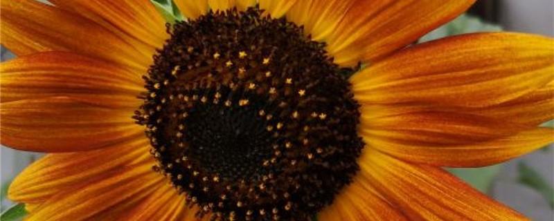 向日葵为什么叫向日葵