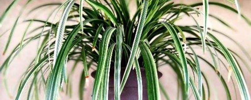 麦冬草黄叶的原因和处理办法