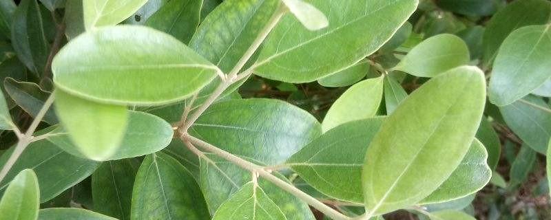 桃金娘黄叶的原因和处理办法