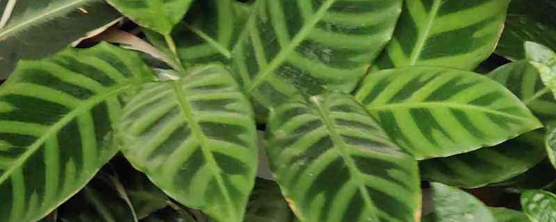 天鹅绒竹芋黄叶的原因和处理办法