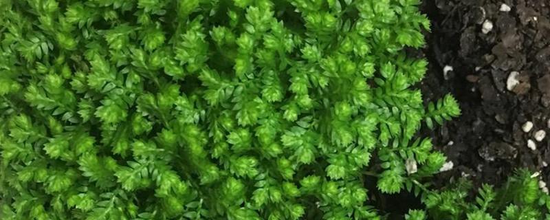 绿地球和翠云草的区别
