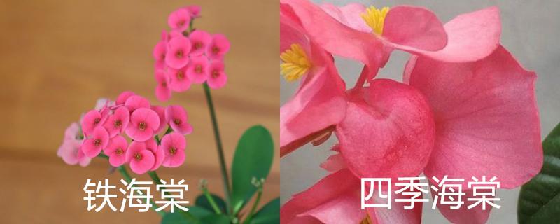 铁海棠和四季海棠的区别