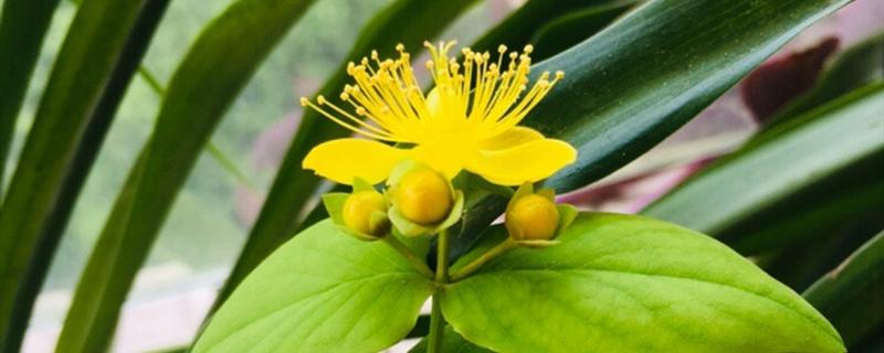金丝梅黄叶的原因和处理办法