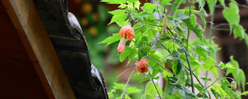 金铃花黄叶的原因和处理办法